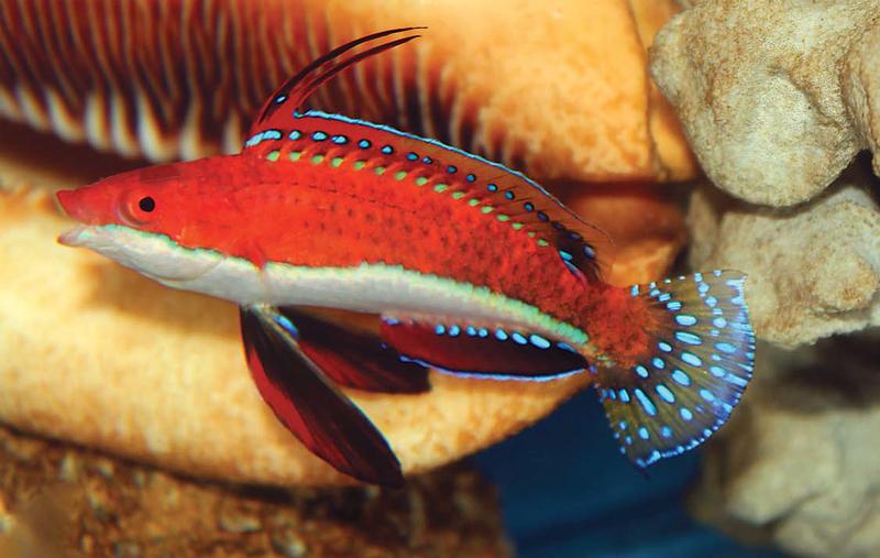 Cirrhilabrus rubeus in the aquarium. Photo H Tanaka