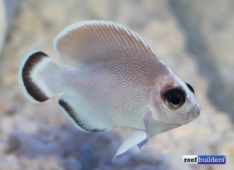 ghost-bandit-angelfish-1-3