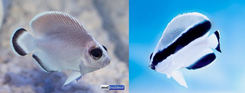 ghost-bandit-angelfish-comparison