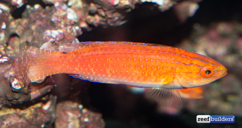 monsoon-fairy-wrasse-2