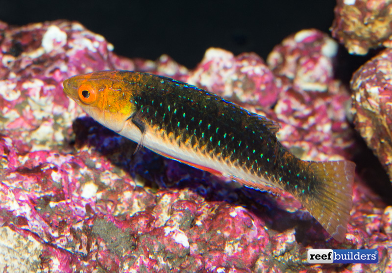 monsoon-fairy-wrasse-3