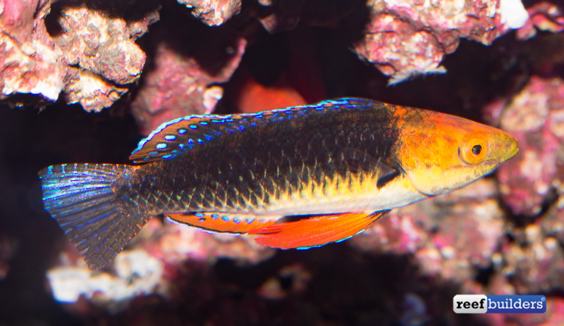 monsoon-fairy-wrasse-7