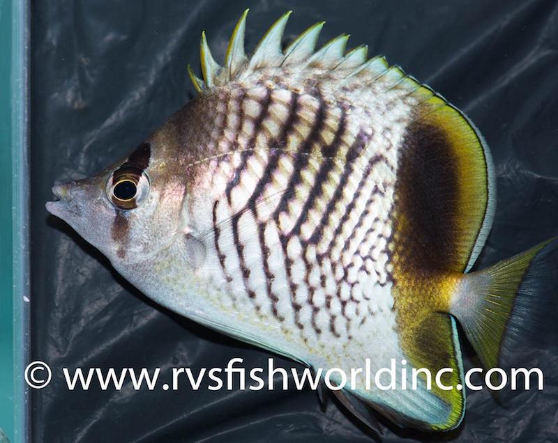 pearlscale-butterflyfish-hybrid