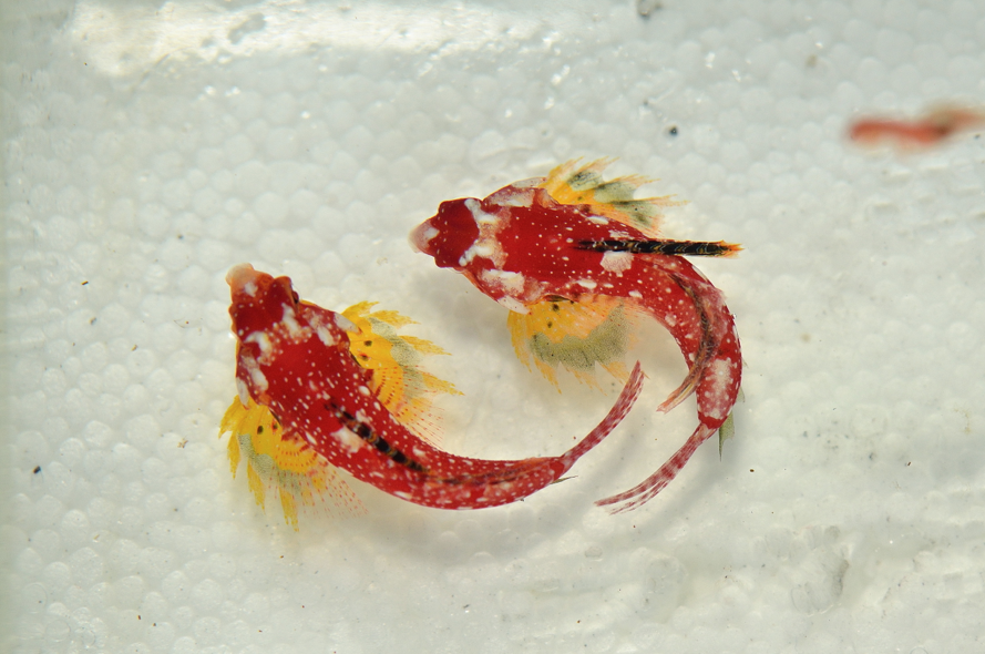 Top down view of Synchiropus sycorax showing the bright yellow pectoral fins unique to the ruby red dragonet.