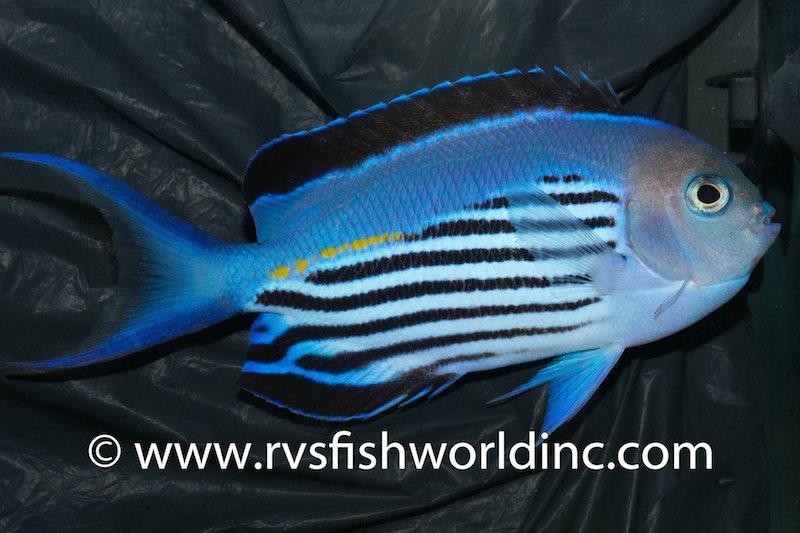 watanabei-angelfish