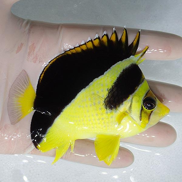 yellow-burgess-butterflyfish-2