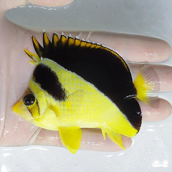 yellow-burgess-butterflyfish