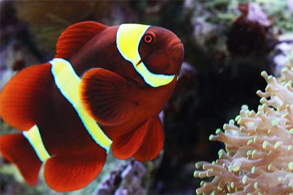 In my experience, Maroon clownfish are just as aggressive towards their owners as they are towards other fish.