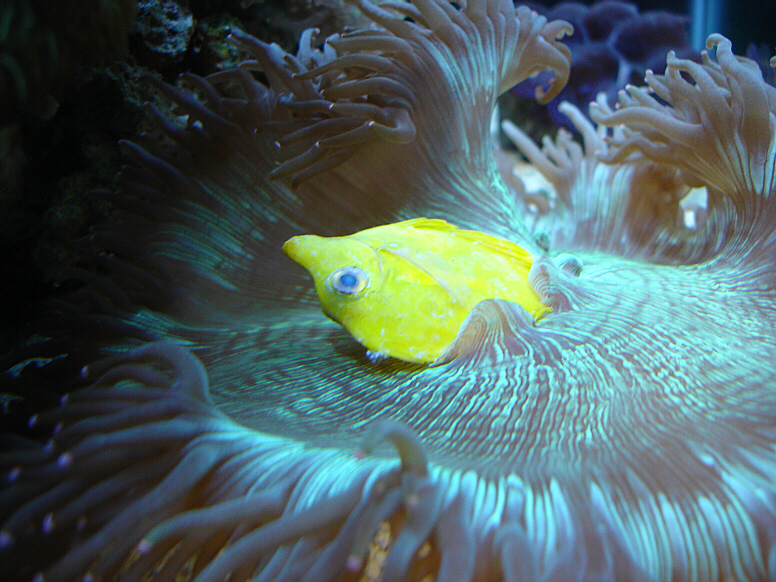 Alternatively, your LPS corals may eat your fish! Photo by m007