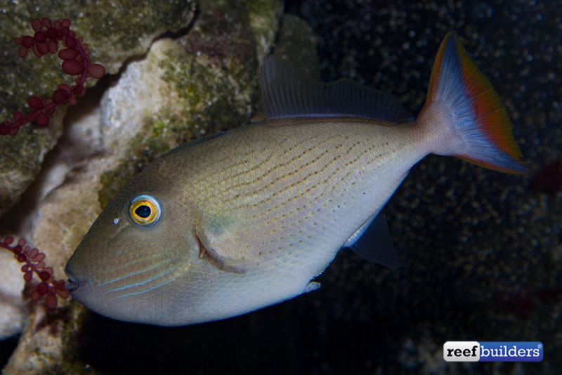Perhaps one of the very first pictures of a living female linespot triggerfish.