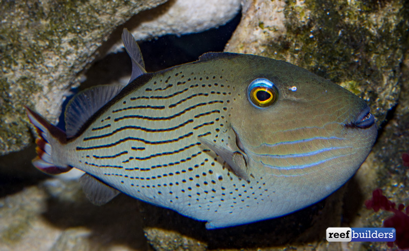 The face of the male linespot triggerfish is very familiar, but the body if completely original for the species
