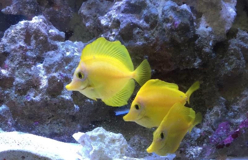 yellow-tang-arrival
