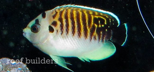 The color and appearance of a juvenile tiger angelfish