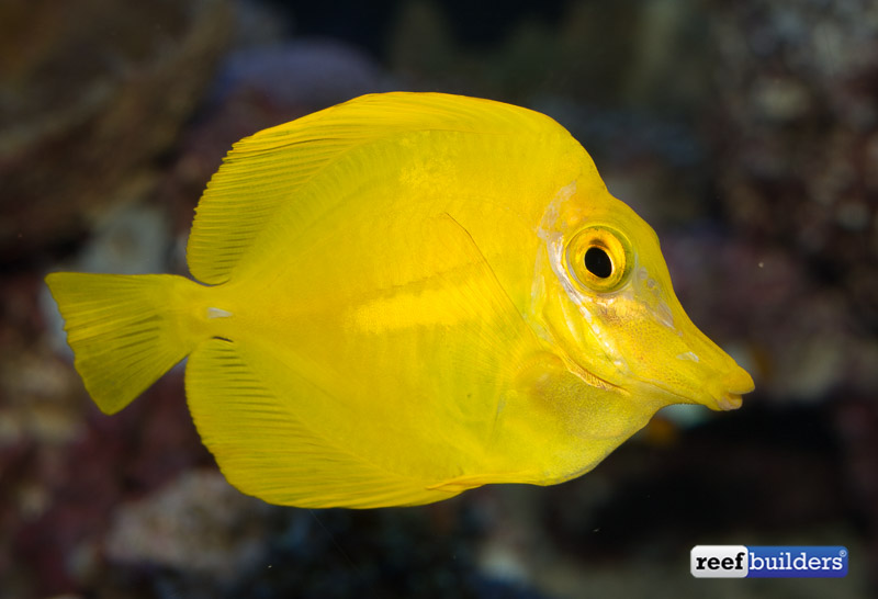 captive-bred-yellow-tang-2