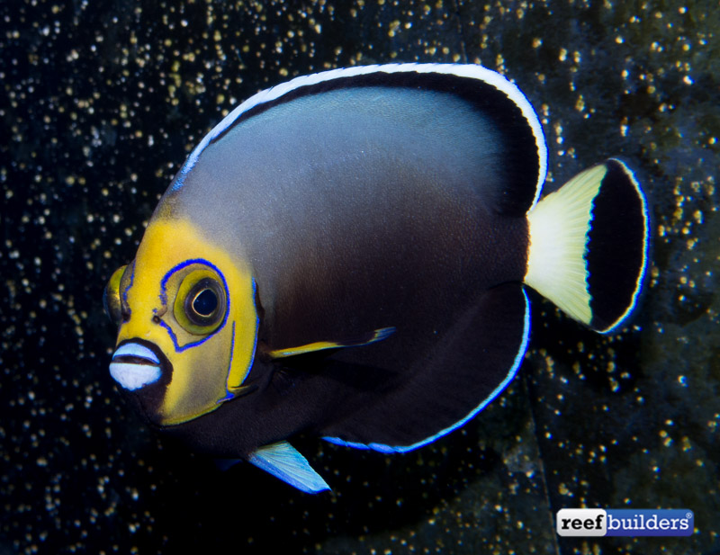 conspicuous-angelfish-adult
