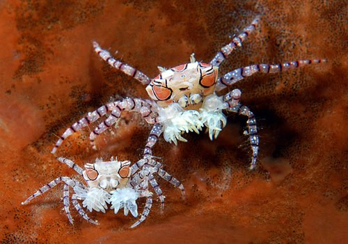 Two Pom Pom crabs on a sponge in Indonesia. Photo by Marchione Giacomo