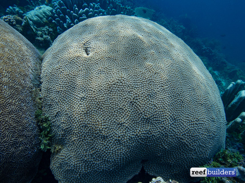 giant-brain-coral-1