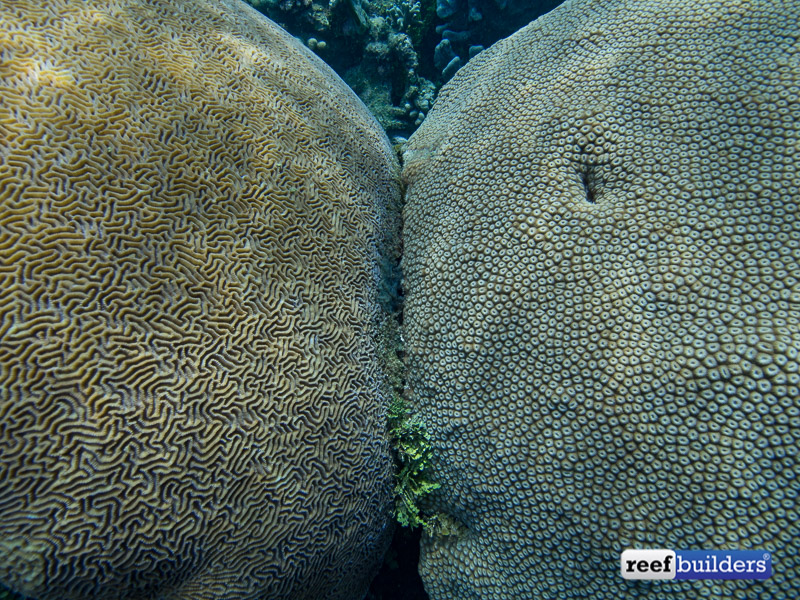 giant-brain-coral-2