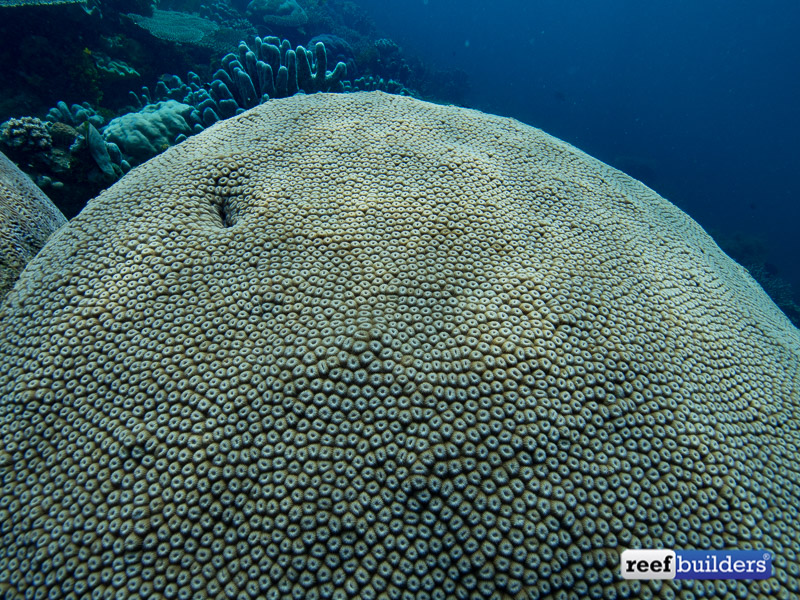 giant-brain-coral-3