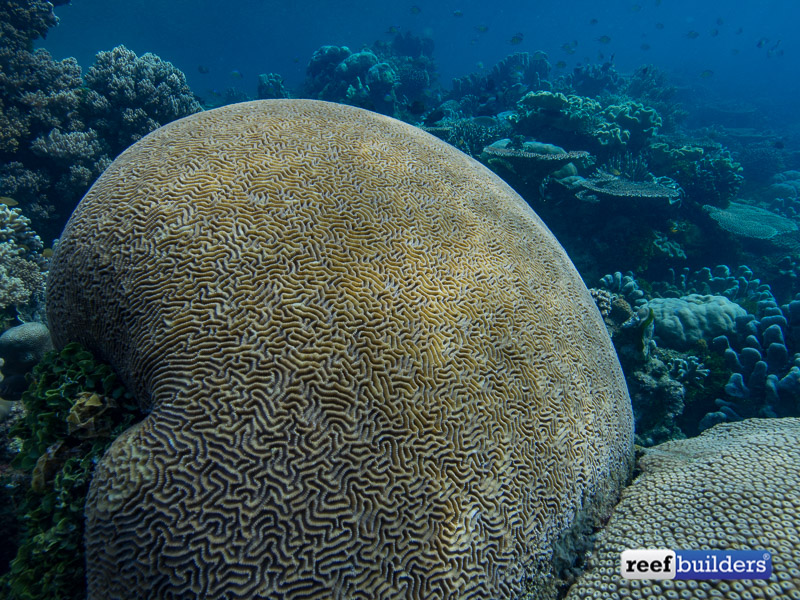 giant-brain-coral-4