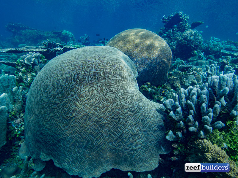 giant-brain-coral-5