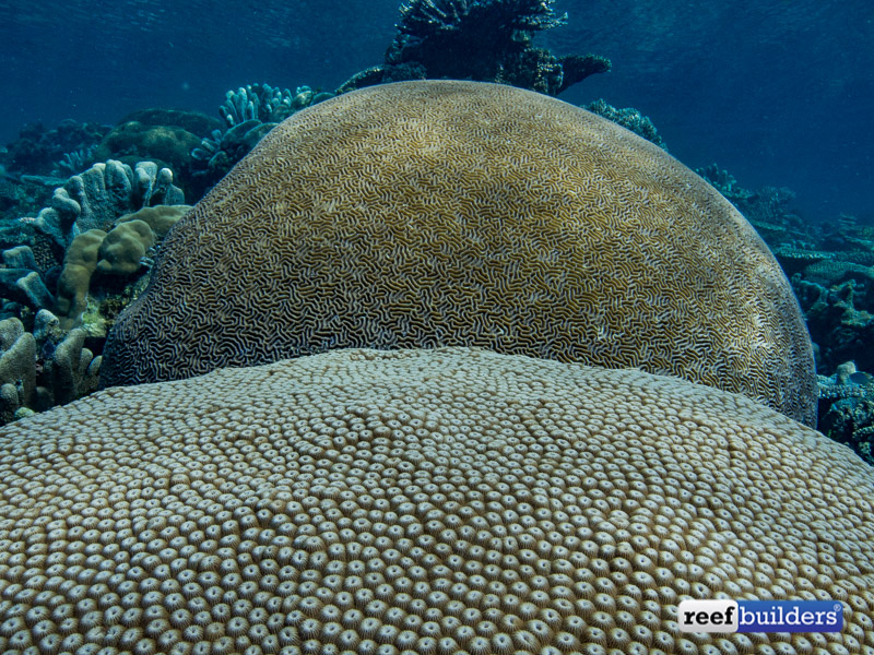 giant-brain-coral-6