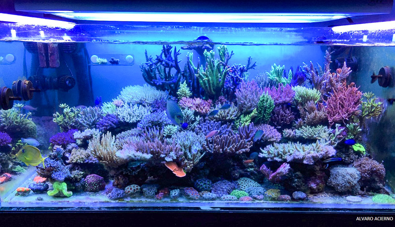 The tank of Alvaro showing how the colors of the corals look very harmonious