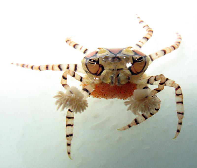 Pom-Pom-crab