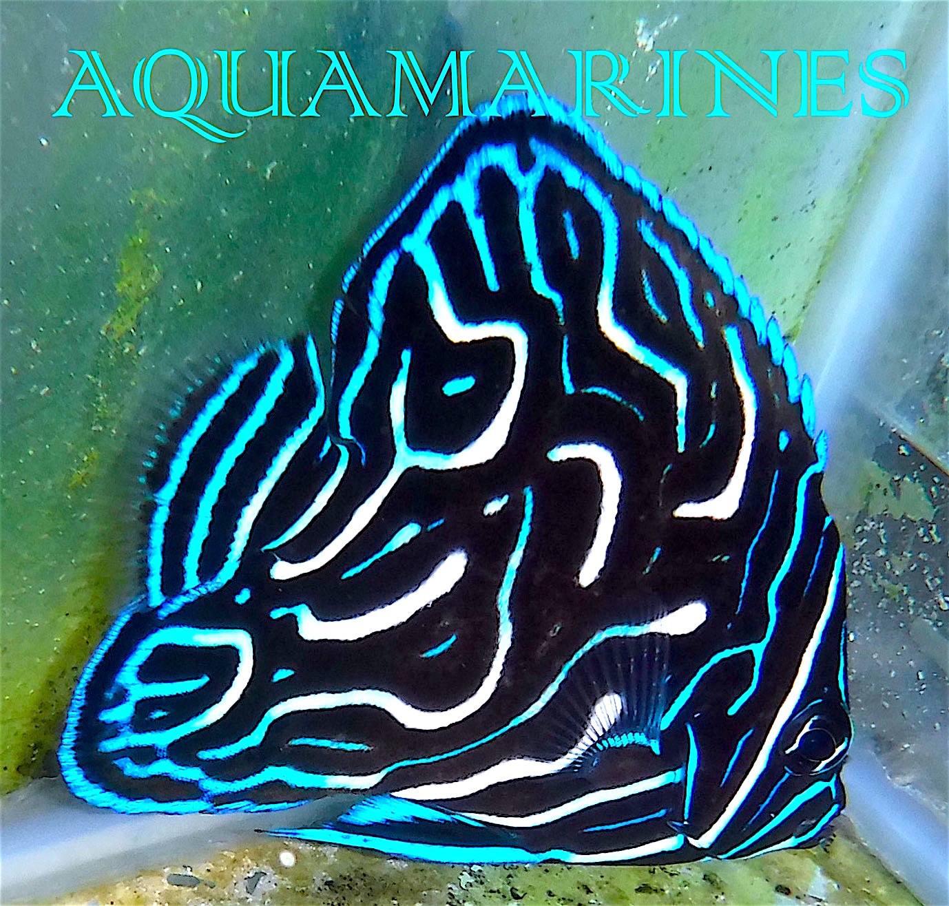 scribbled-koran-angelfish