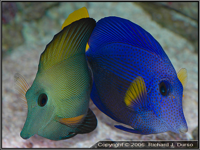 Housing Scopas, Purple, and Yellow tangs would probably create issues.