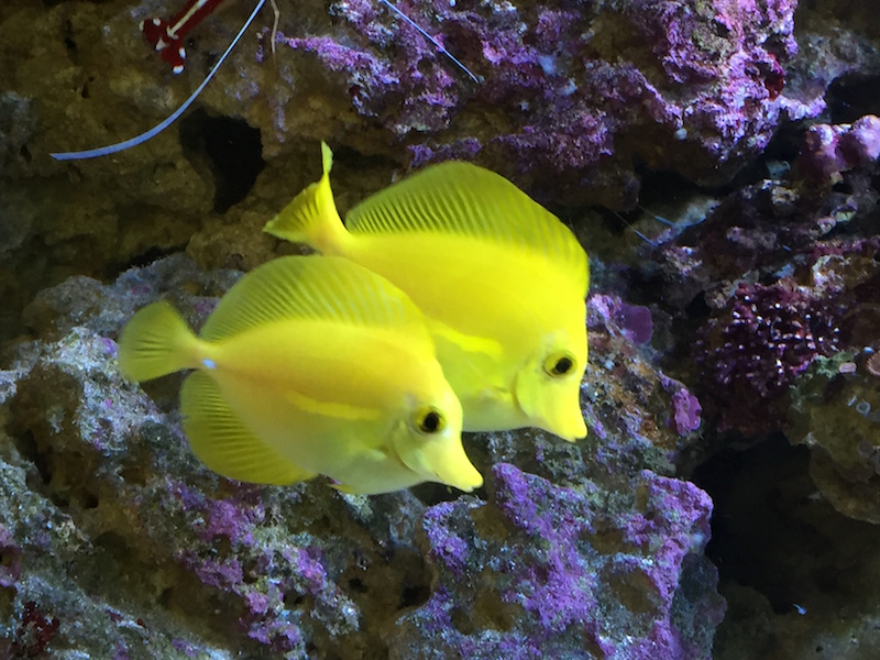 Yellow Tangs Now [Nov 2016]