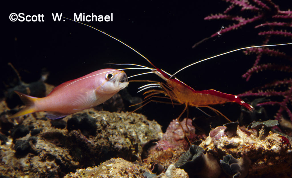 The sturdy appendages of the shrimp meticulously cleans the inside of the Anthias' mouth.