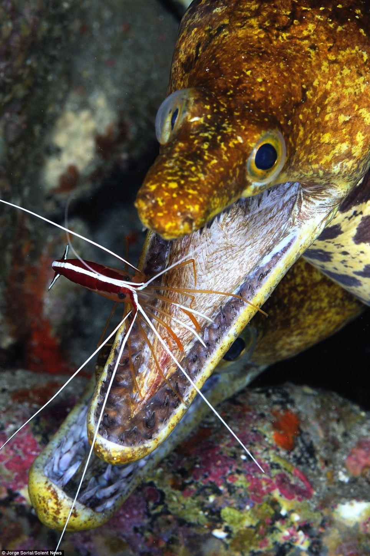 cleaner shrimp eel