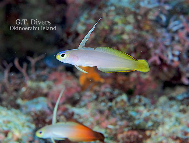 The ghostly appearance of a rare helfrich firefish hybrid photographed by Kazutoshi Uehara