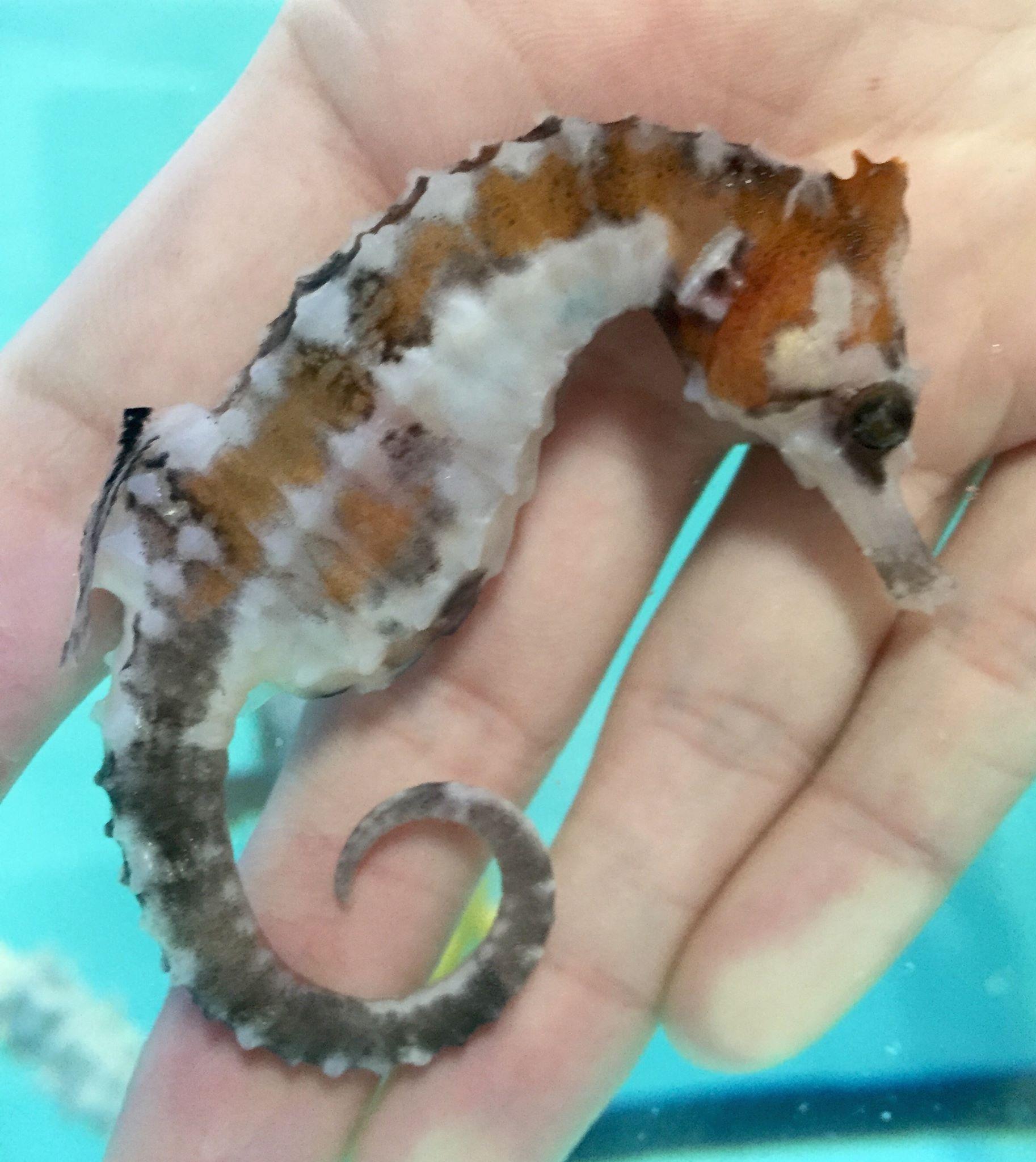 hippocampus-erectus-piebald-pinto-seahorse-4