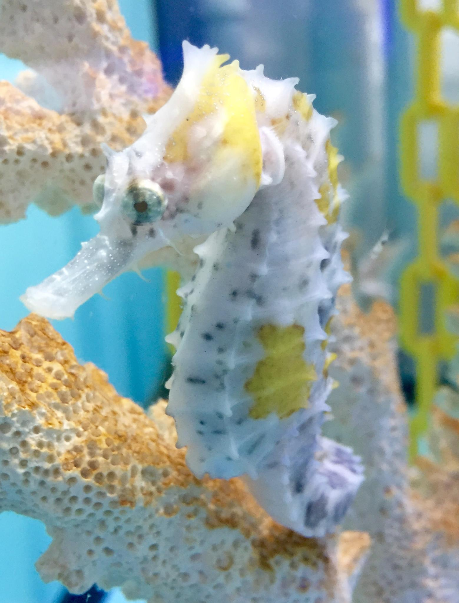 hippocampus-erectus-piebald-pinto-seahorse-6