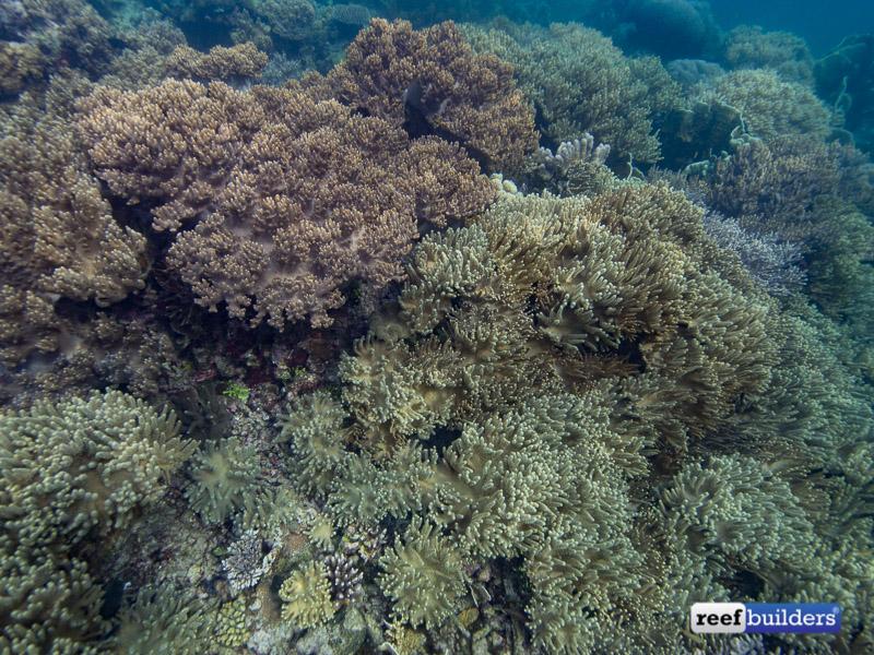 leather-corals-raja-ampat-6