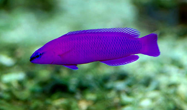 A wild orchid dottyback showing the blue edge to its scales