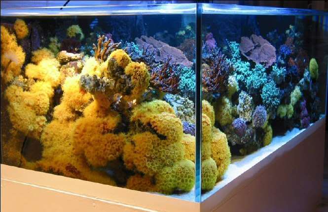 An implosion of sun corals even in an SPS tank!