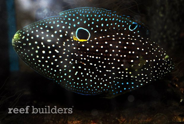 sustainable-aquatics-marine-betta-2
