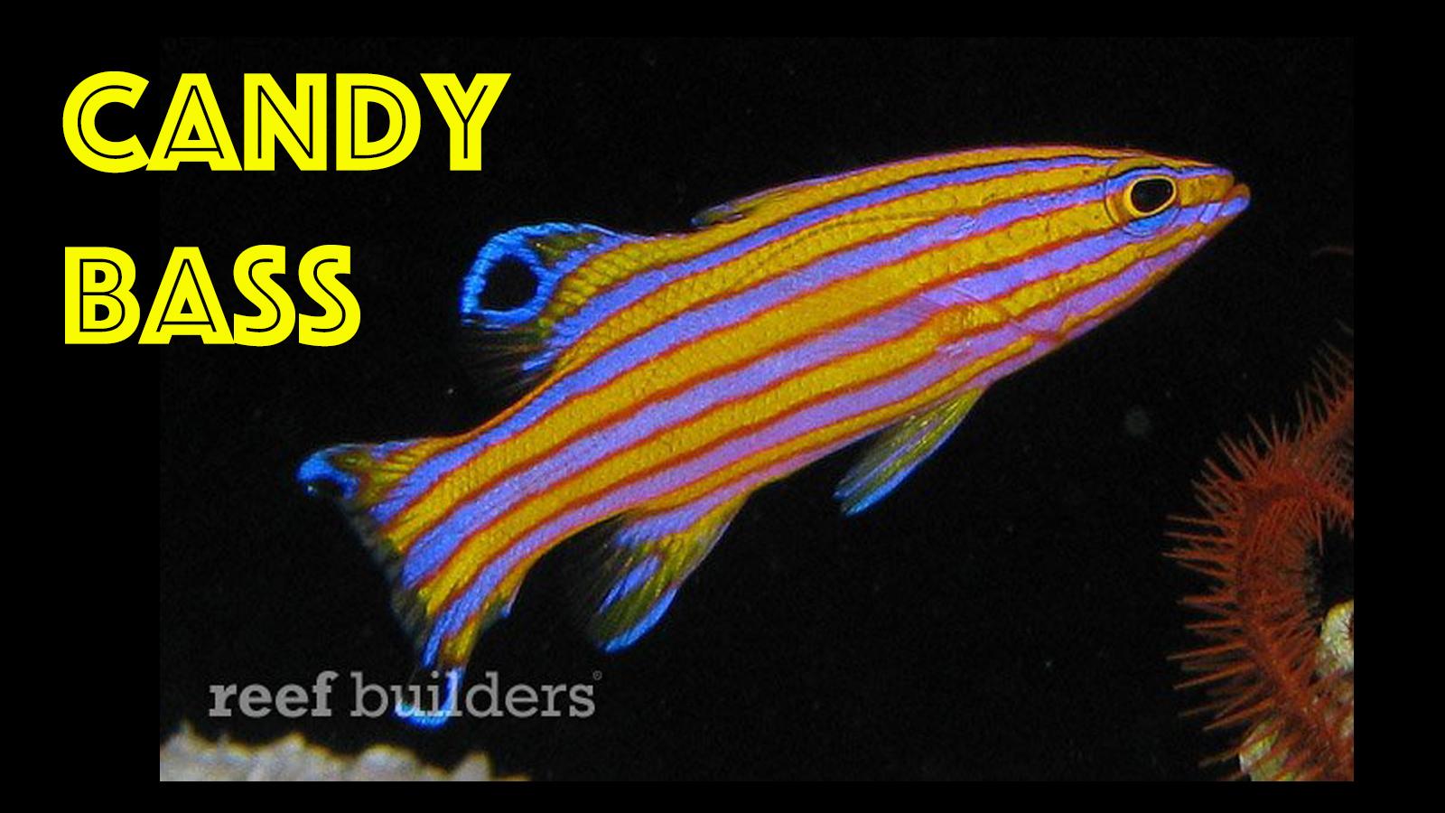 thumbnail-candy-basslet