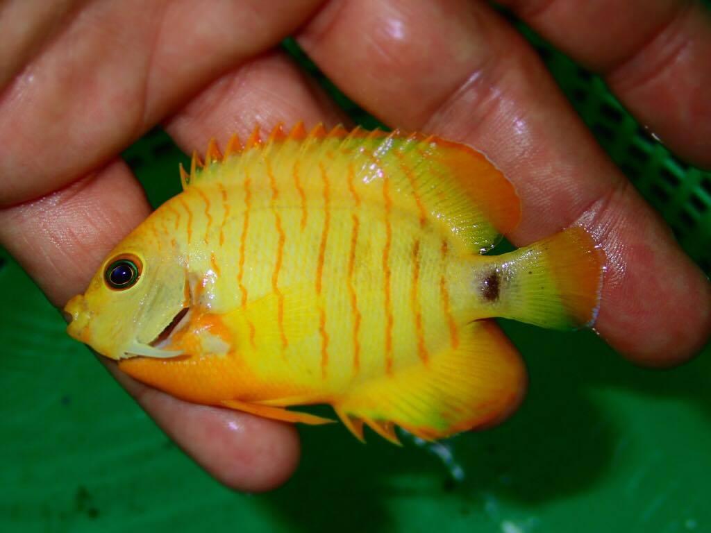 xanthic-eibli-angelfish