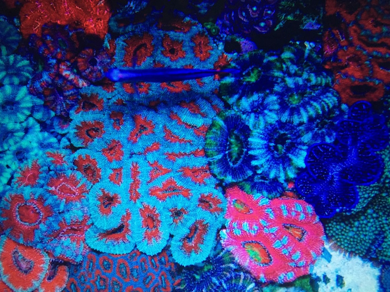 Having a wide selection of corals including lps is another way to increase the likelihood of success