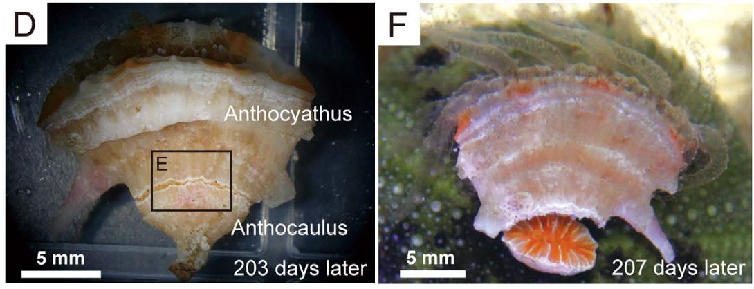 truncatoflabellum-anthocaulus-anthocyath