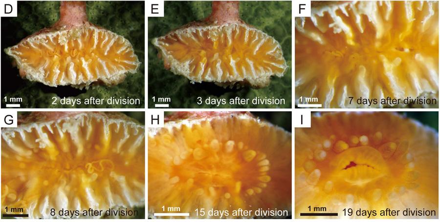 truncatoflabellum-regeneration.jpg