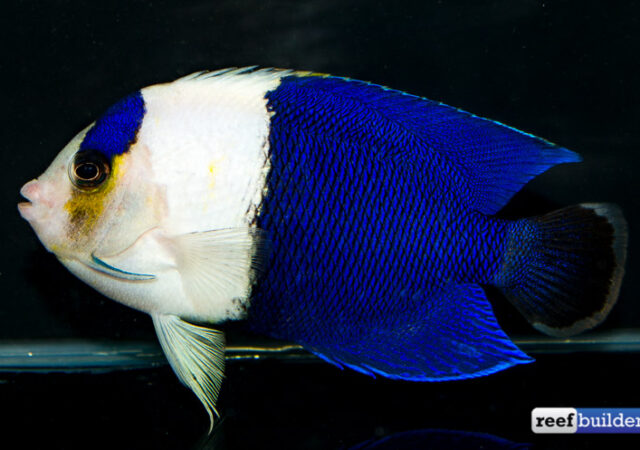 Tag Centropyge Bicolor Reef Builders The Reef And Saltwater Aquarium Blog