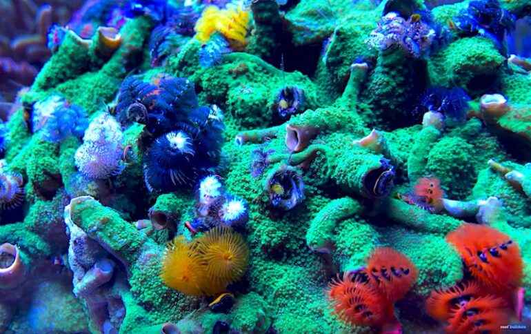 I M Dying For A Xmas Tree Worm Rock Like This Reef Builders The Reef And Saltwater Aquarium Blog