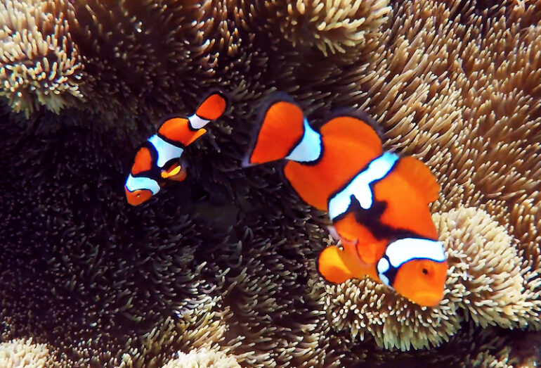 Revisiting Reef Life Highlights of the Solomon Islands | Reef Builders | The Reef and Saltwater Aquarium Blog