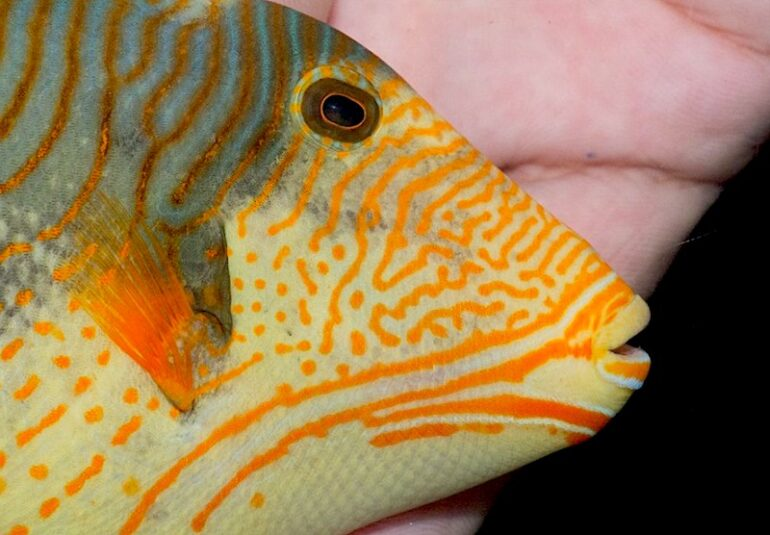 RVS Fishworld Reels in Another Remarkable Xanthic Triggerfish | Reef Builders | The Reef and Saltwater Aquarium Blog