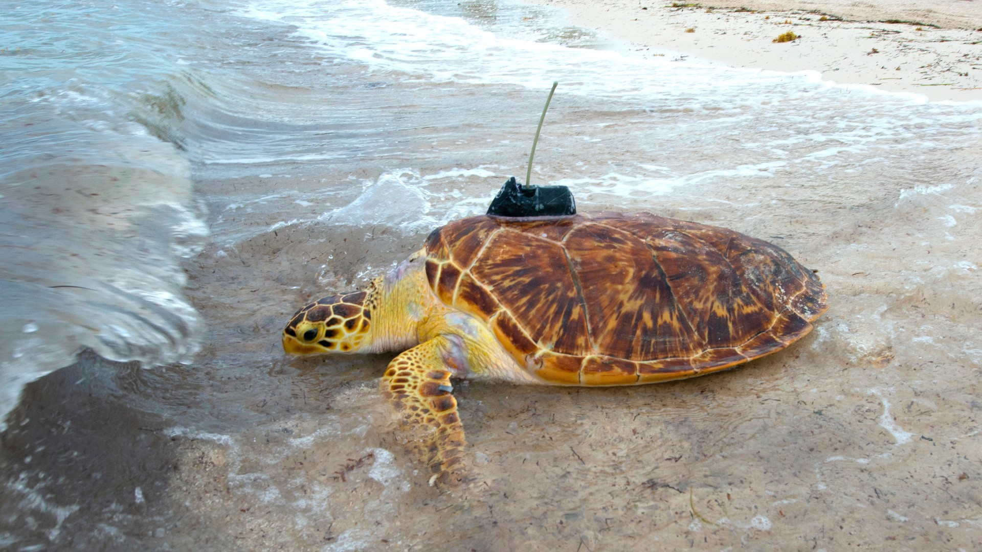 Rare Hybrid Hawksbill-Green Sea Turtle Released